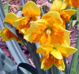 Narcissus 'Mondragon'