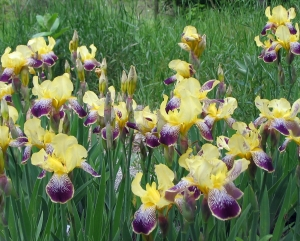 Unknown Iris cultivar