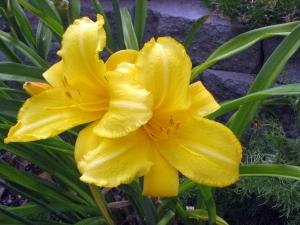 cultivar 'Mary Todd'