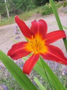 cultivar 'Autumn Red '