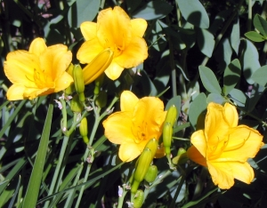 Hemerocallis 'Stella D'Or'