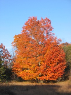 Sugar Maple in late October
