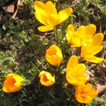 Crocus in Veronica