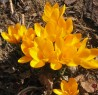 More yellow Crocus