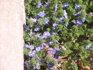 Veronica pectinata in spring