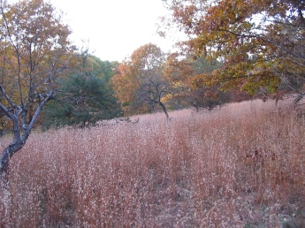 A field of Little Bluestem
