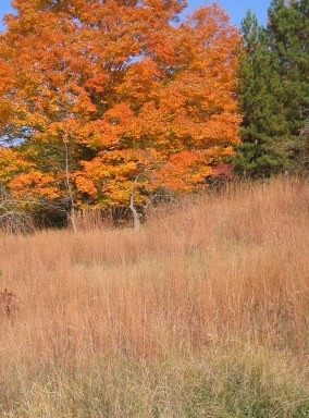 Big Bluestem Crowned by Maple