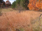Big Bluestem in a field