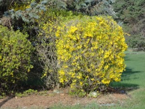 improperly pruned forsythia