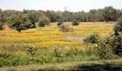 field of goldenrod
