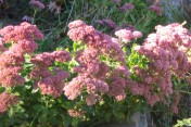 Sedum 'Autum Joy'