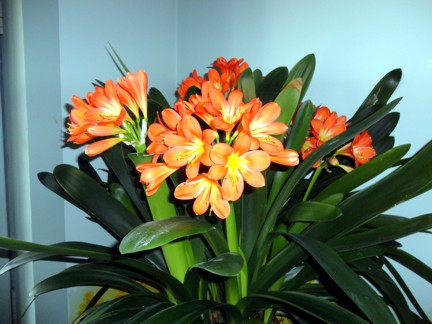 My remaining Clivia miniata's  2011 blooms.