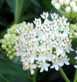 Asclepias (milkweed)