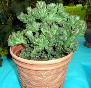 Horticulture Division Crassulaceae