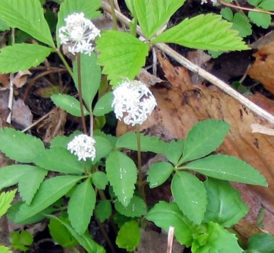 "Dwarf Ginseng (Panax trifolius) 4-8"" and found in rich woods."