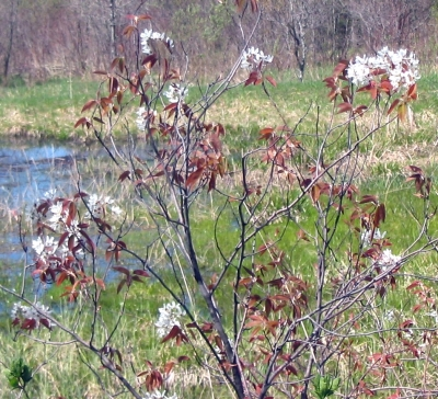 The blooms of the Allegheny serviceberry (Amelanchier laevis), often called Shadbush or Juneberry, is one of the first trees to bloom; not the bronze colored leaves which help identify it. Amelanchier is a member of the Rosaceae family.