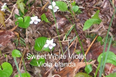 Sweet White Violet ('Viola blanda) -- fragrant, reddish stems, upper petals twisted.