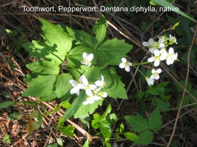 Toothwort (Cardamine diphylla - alternative for name in photo), is a woodland plant.