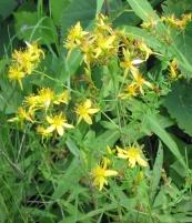 Hypericum perforatum, Common St. Johnswort, introduced