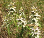 Mondarda punctata, Horsemint