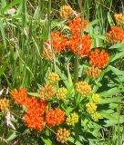 Asclepias tuberosa, Butterfly-weed