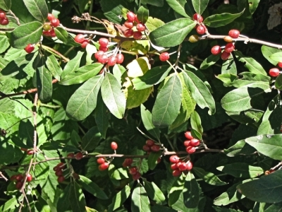 Invasive autumn olive, Elaeagnus umbellata Thunb.