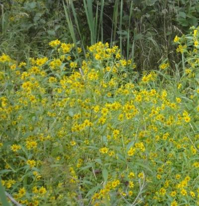 Bidens laevis, Bur-marigold