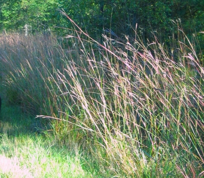 Andropogon gerardii, Big Bluestem
