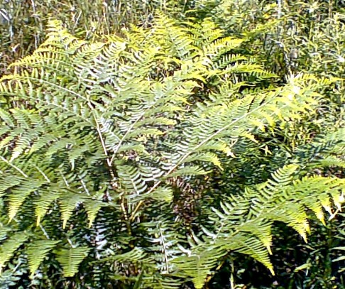 Bracken Fern