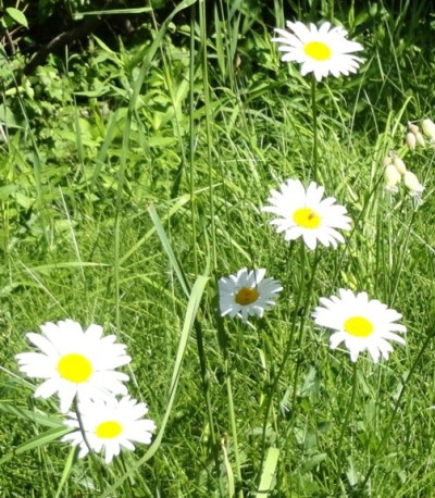 Chrysanthemum leucanthemum, Ox-eye Daisy