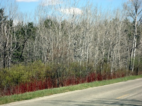 Early spring shrubs provide much needed color.