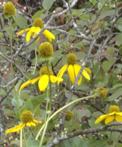 Rudbeckia lancinata, Green-headed Coneflower