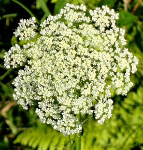 Daucus carota, Wild Carrot, or the ubiquitous Queen Anne's Lace.
