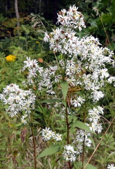 Aster vimineus, Small White Aster