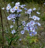 Aster laevis, Smooth Aster