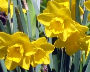yellow dafs