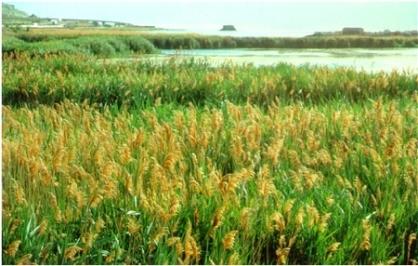 Phragmites takeover marsh