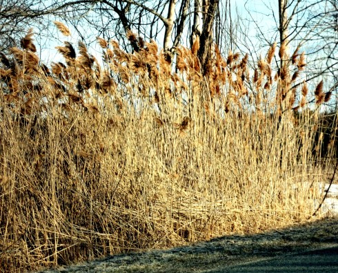 Phragmites - the non-native variety.