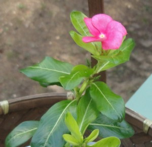 Catharanthus roseus, or Rosy Periwinkle