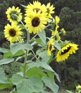 Nice sunflowers although I expected a wider variety.