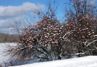 Snow covered apples