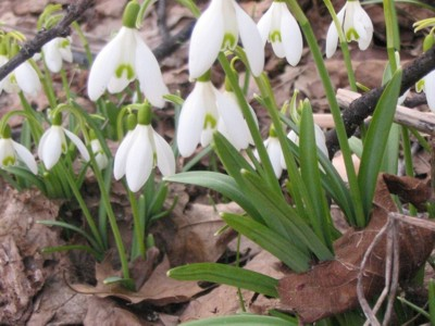 Snowdrops are always first