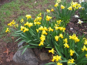 First daffodils, cultivar unknown