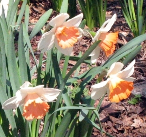 Narcissus 'Chromacolor'