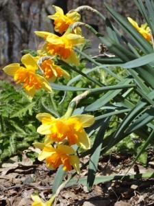 Narcissus 'Mondragon'