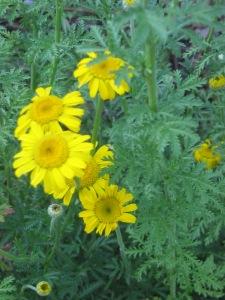 Anthemis kelwayi, Golden Marguerite