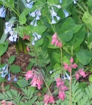 Mertensia virginiana, bluebells, and Dicentra exima or Fringed Bleeding Heart