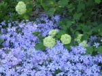 Phlox 'Emerald Blue' and Hydrangea 'Snowball'