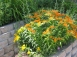 More milkweed - Asclepias 'Gay Butterflies'