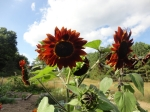 chianti sunflower 2 14